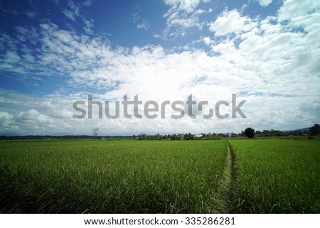 Rice Field Plantation in South East Asia almost ready to be Harvest