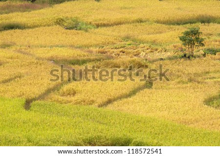 Rice field terraces, Chiang Mai Province, Thailand. - stock photo