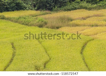 Rice field terraces, Chiang Mai Province, Thailand.