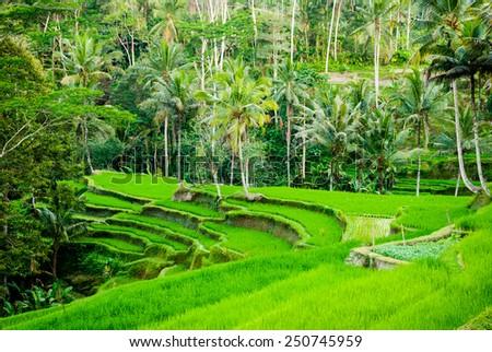 Rice field terraces in Bali, Indonesia - stock photo