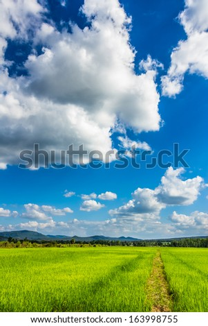 Rice field under blue sky in countryside of Thailand