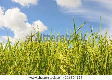 rice field with blue sky background
