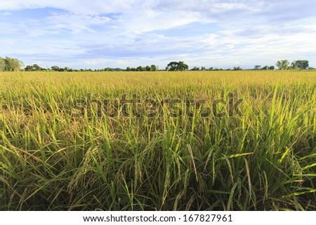 Rice field with blue sky, Thailand