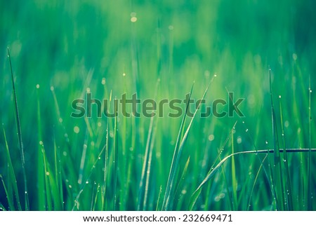 Rice field with dew drop - stock photo