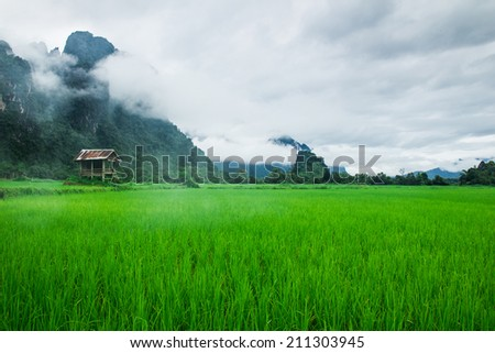 Rice field with fog and mountain background