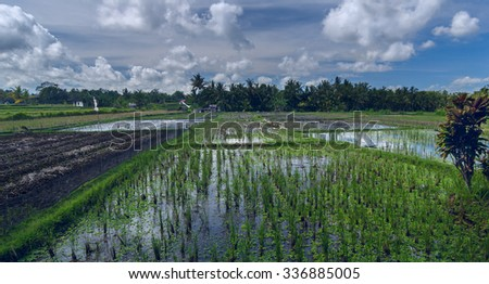 Rice field with geeses - stock photo