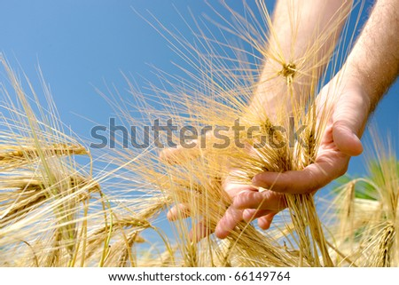 rice field with man's hand - stock photo
