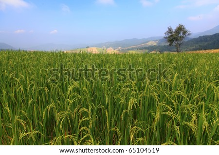 Rice Field With Tree - stock photo