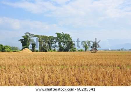 Rice fields after harvest, in northern Thailand. - stock photo
