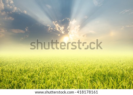 Rice fields and sunset for background