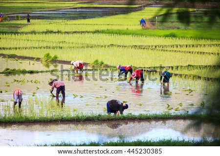 Rice fields are planted with rice preparations