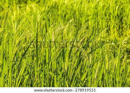 Rice fields, Bali, Indonesia  - stock photo