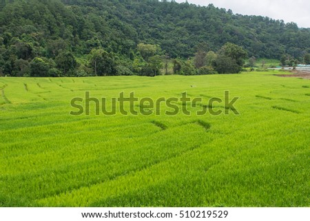 Rice fields in Chiang Mai, Thailand.