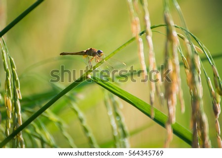 rice fields in countryside, agriculture