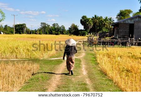 Rice fields in 4000 Islands, Laos - stock photo