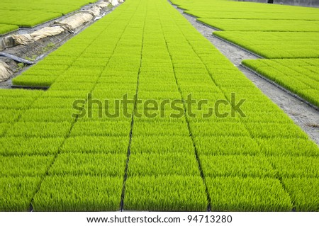 rice fields in row - stock photo