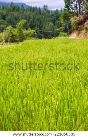 Rice fields in Tana Toraja, South Sulawesi, Indonesia. Selective focus. - stock photo