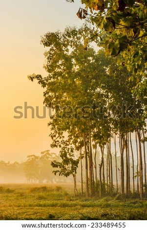Rice fields in the morning with fog and tree - stock photo