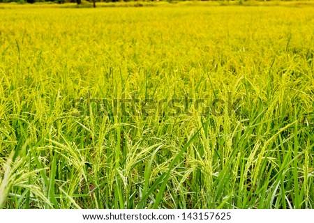 Rice fields in the tropics - stock photo
