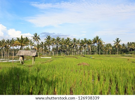 Rice fields on Bali island, Indonesia