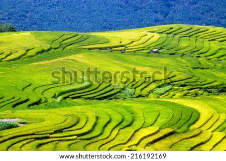 Rice fields on terraced of Yty, Laocai, Vietnam. Rice fields prepare the harvest at Northwest Vietnam - stock photo
