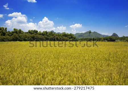 rice fields s blue sky cloud cloudy - stock photo