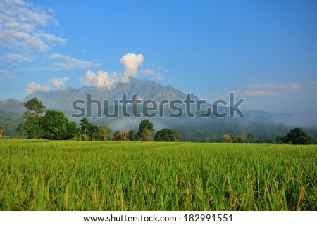 Rice fields  with mountains on background - stock photo