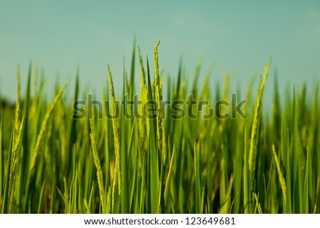 Rice filed in Thailand. - stock photo