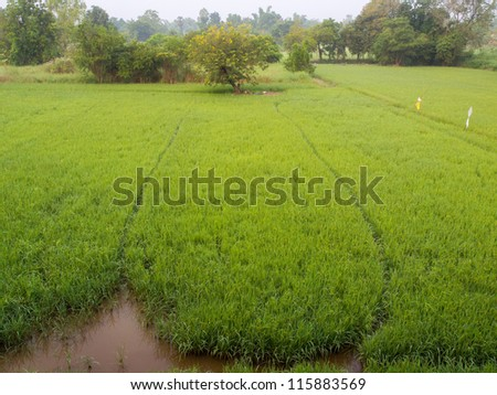 rice garden - stock photo
