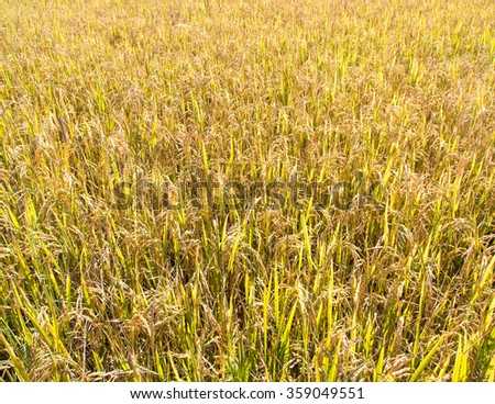 Rice grains of rice paddy fields.