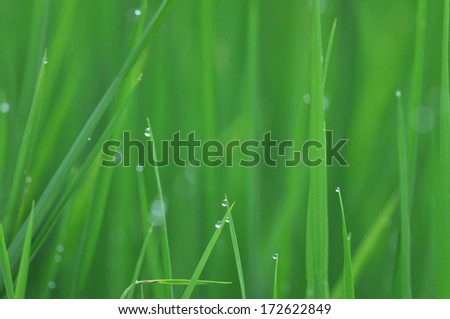 Rice grass and drop. - stock photo