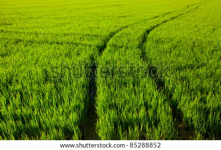 rice green fields with tractor tracks in Valencia spain - stock photo