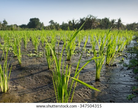 Rice in a paddy field, Bali, Indonesia - stock photo