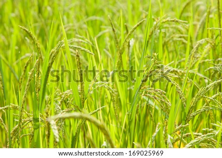 Field Crops Rice Rice in Rice Field Crops Close
