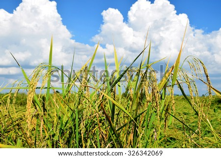 Rice in the fields