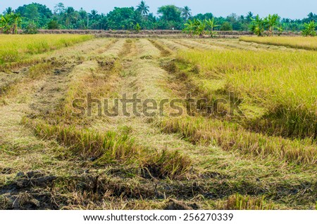 Rice is harvested by combine harvesters. - stock photo
