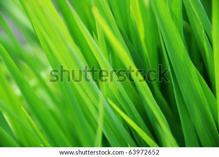 Rice leaves - stock photo