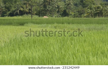 Rice maturing in the sun on Panay island in the Philippines - stock photo