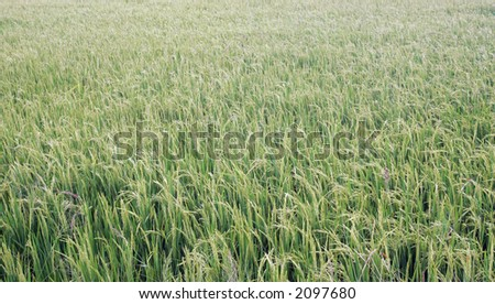 Rice or paddy field. - stock photo