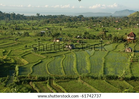 Rice paddies - stock photo