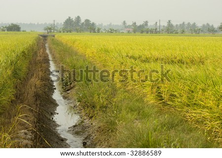 Rice Paddy Field - stock photo