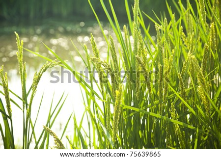 rice / paddy field in sunshine / soft selective focus on the  foreground - stock photo
