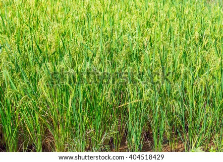rice paddy green field close up - stock photo