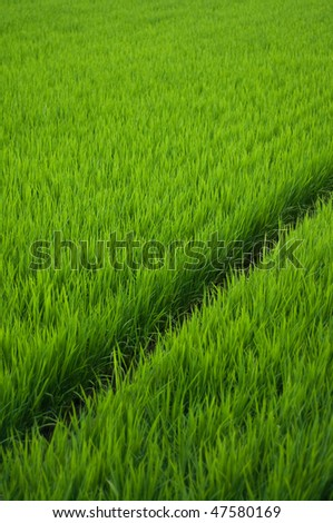 Rice paddy in rural Japan. - stock photo