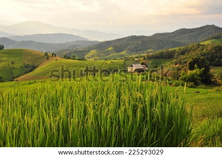 Rice Paddy on Terraced Fields at Sunset
