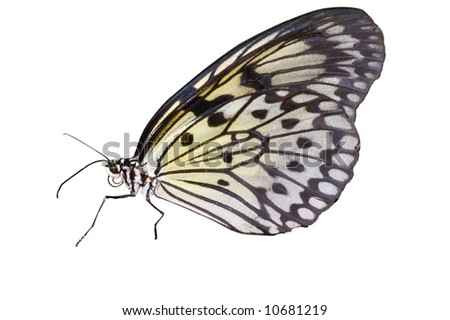 Rice paper butterfly isolated on white - stock photo