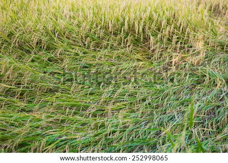 rice plant falling down because of strong wind - stock photo