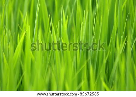 Rice plant in bali - stock photo