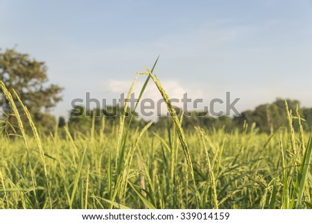 Rice plant on the rice field.