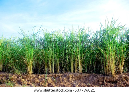 rice plant with a bright sky background.